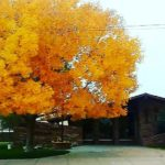 Photo of front of Library with ash tree in autumn.